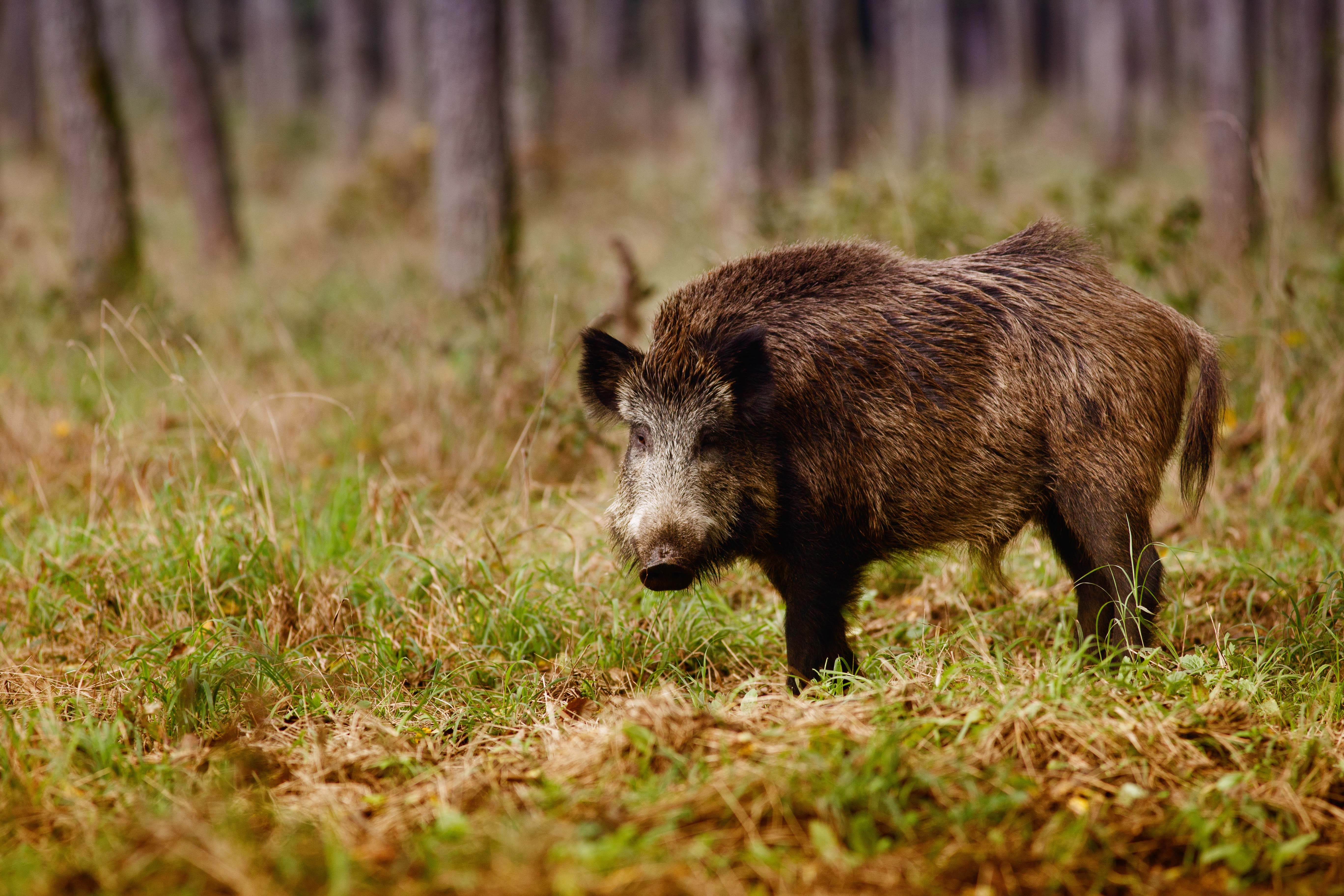 wild boar durhamranch com