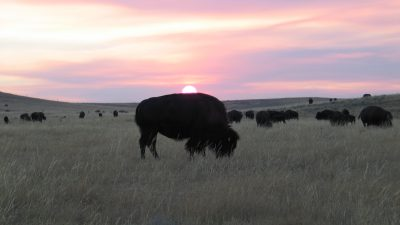 Bison herd sunset